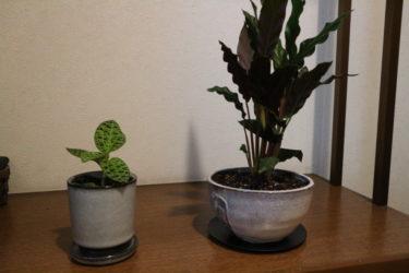 観葉植物をオシャレに見せる。陶器製の鉢に植えてみた。